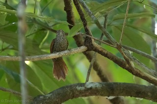 - Scaled Spinetail