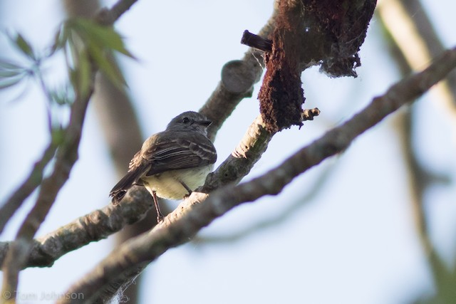 Amazonian Scrub-Flycatcher