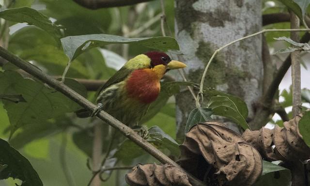 Lemon-throated Barbet