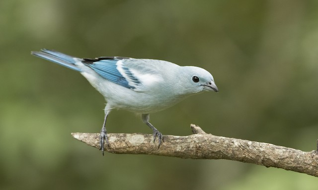 Blue-gray Tanager (White-edged)