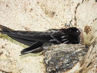 - Mossy-nest Swiftlet