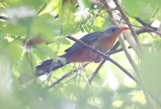 - Red-billed Malkoha