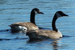 Canada Goose, ML66559551