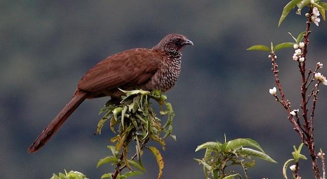Andean Guan