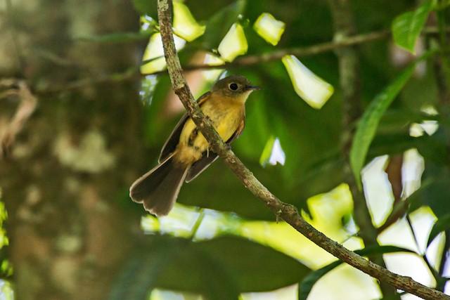 Whiskered Flycatcher