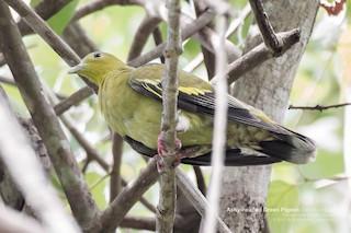 Ashy-headed Green-Pigeon