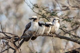 - White-crowned Shrike