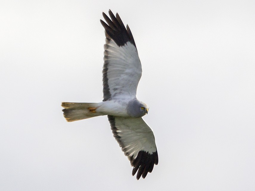 Hen Harrier - Miguel Ángel Madrid Gómez