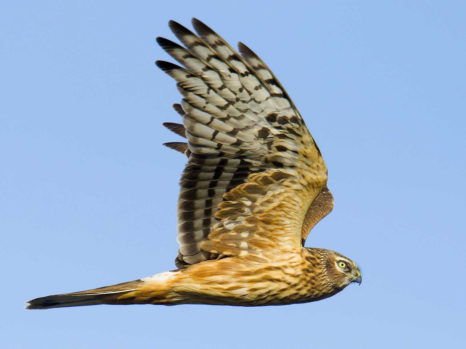 Hen Harrier - Craig Brelsford