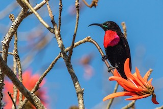 - Scarlet-chested Sunbird