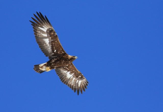 Golden Eagle (Switzerland).
