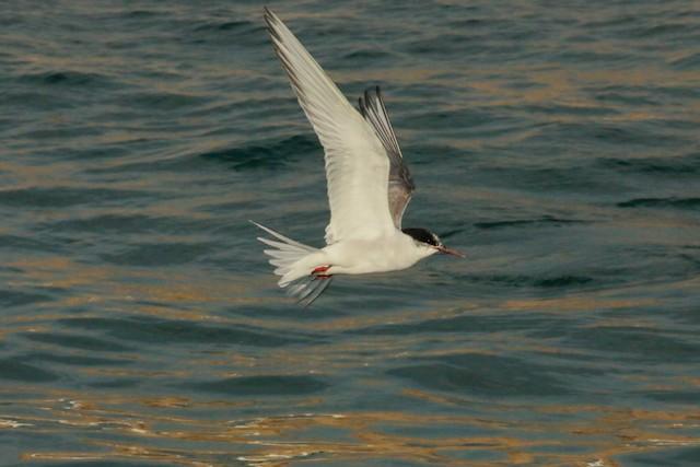 South American Tern
