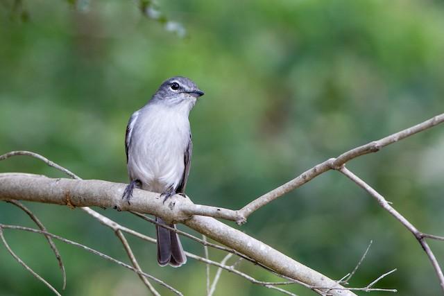 Ashy Flycatcher (presumed subspecies <em>caerulescens</em>).