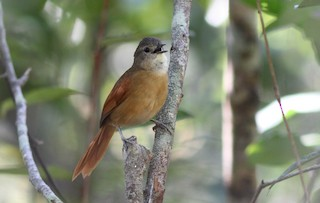 - White-lored Spinetail