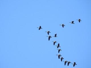 Canada Goose, ML66892181