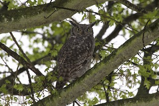 - Spotted Eagle-Owl (Spotted)