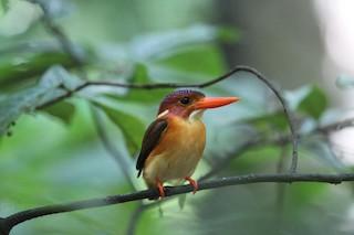 - Sulawesi Dwarf-Kingfisher