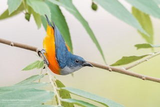 - Orange-bellied Flowerpecker