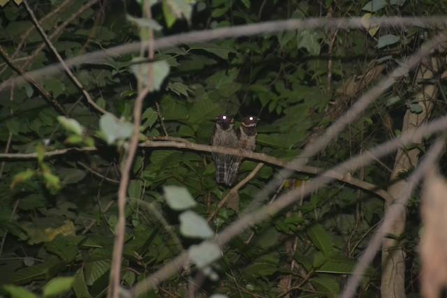 Great Eared-Nightjar