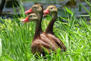 Black-bellied Whistling-Duck, ML67237081