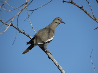White-winged Dove, ML67240081