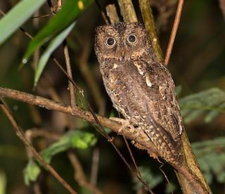 - Sulawesi Scops-Owl
