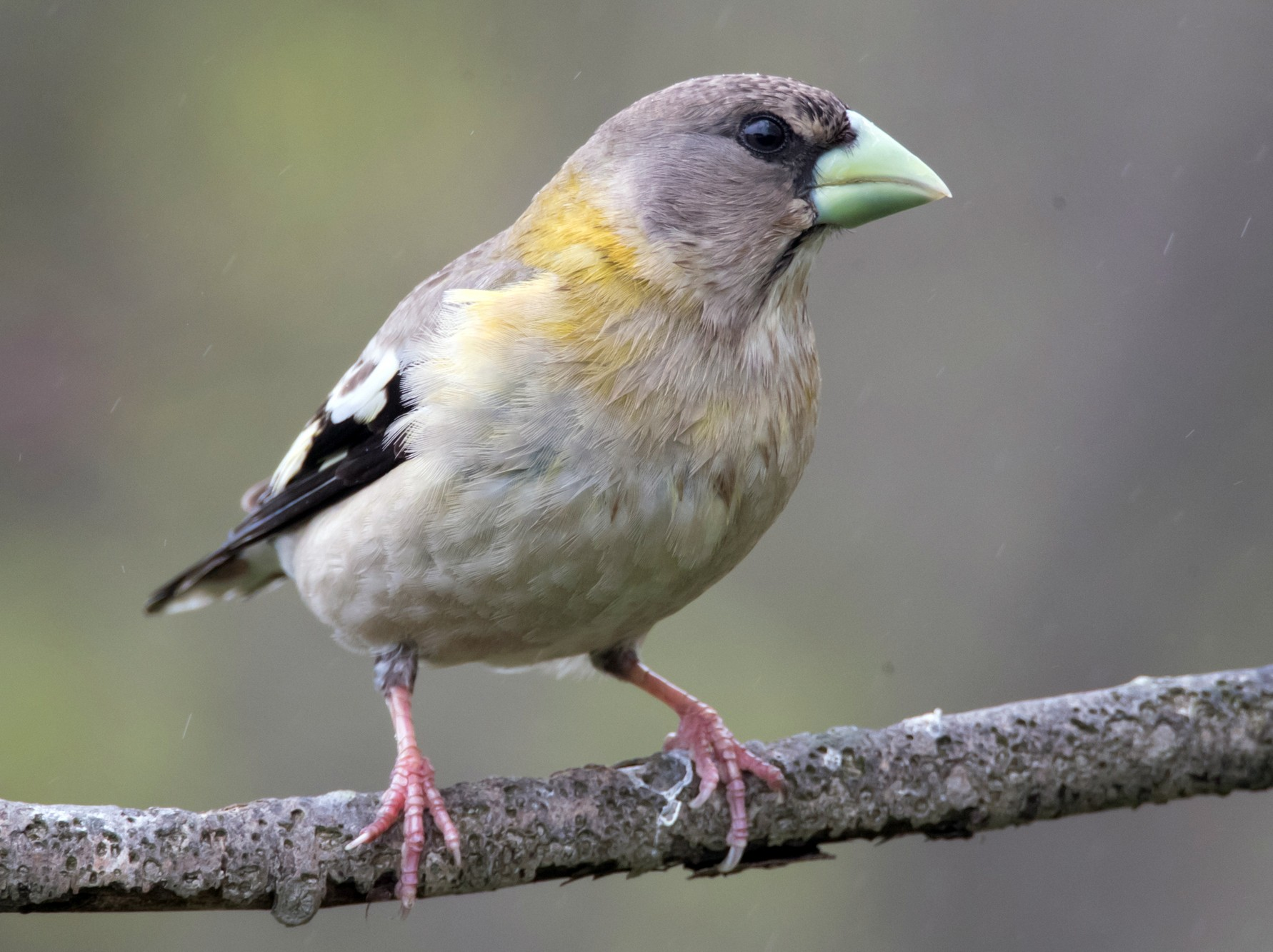 Evening Grosbeak - Brendan Klick