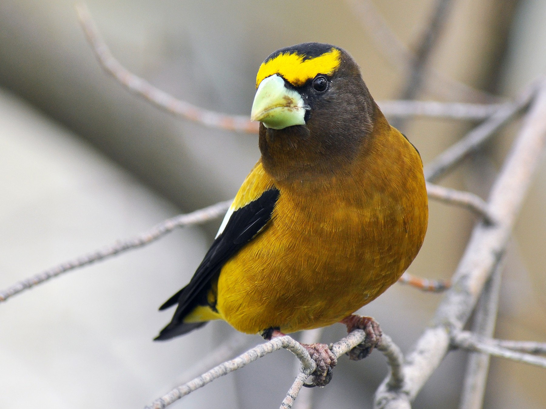Evening Grosbeak - Ryan O'Donnell