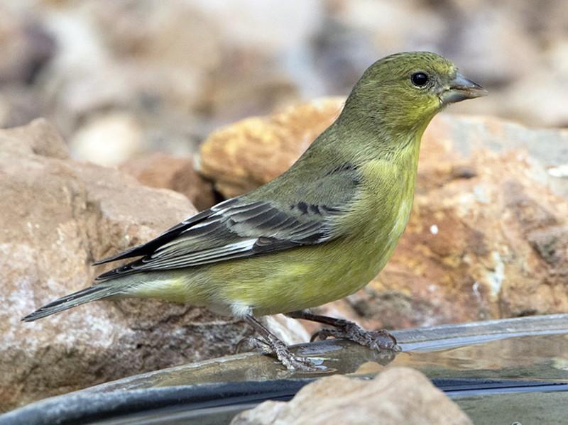 Lesser Goldfinch - Arlene Ripley