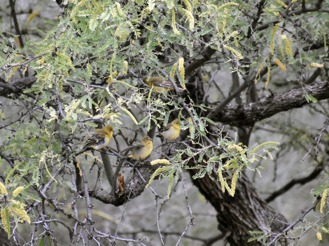 Lesser Goldfinch - Larry Langstaff