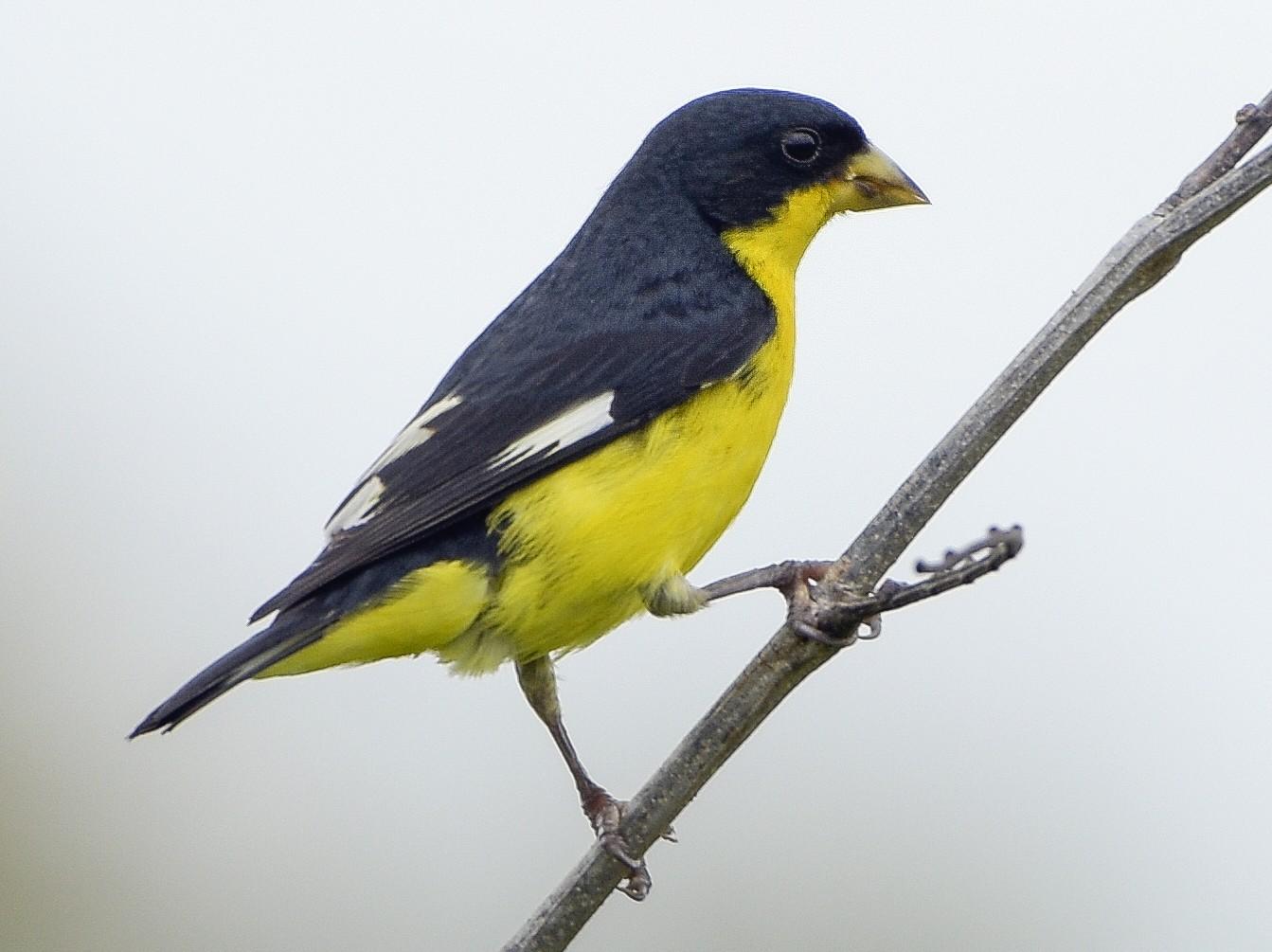 Lesser Goldfinch - Carlos Echeverría