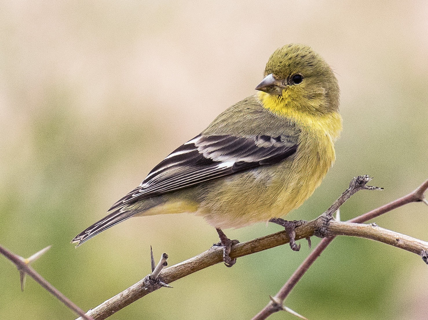 Lesser Goldfinch - Chris S. Wood