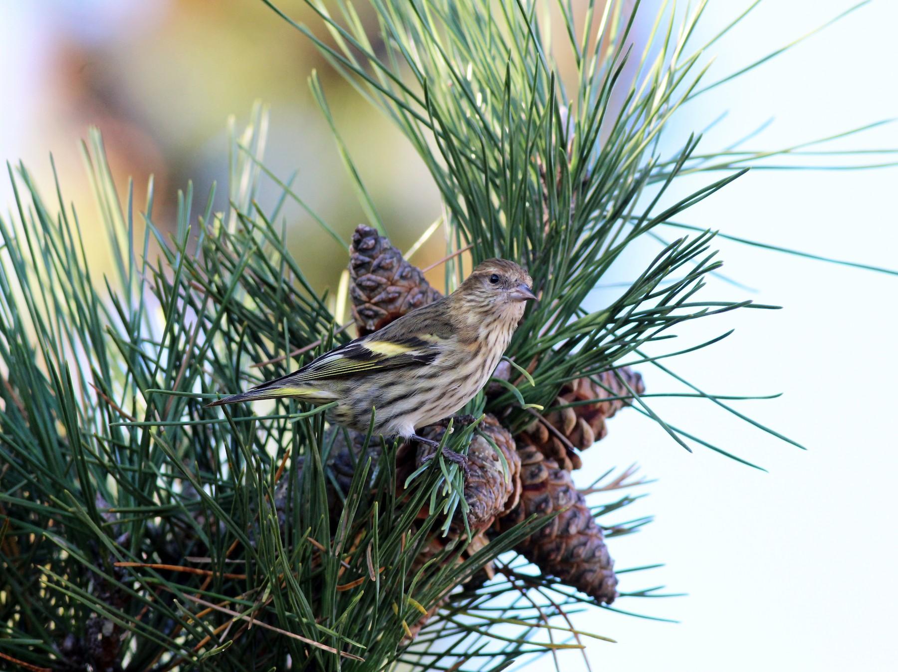 Pine Siskin - Sequoia Sempervirens