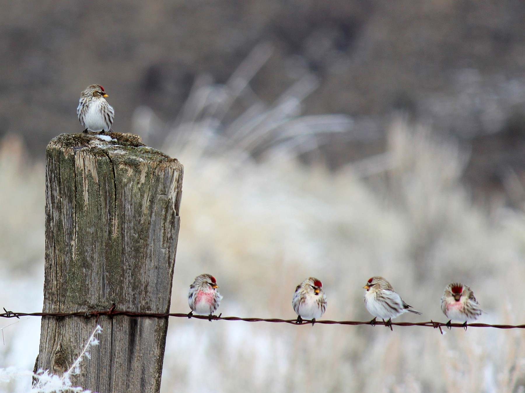 Common Redpoll - Charles Gates