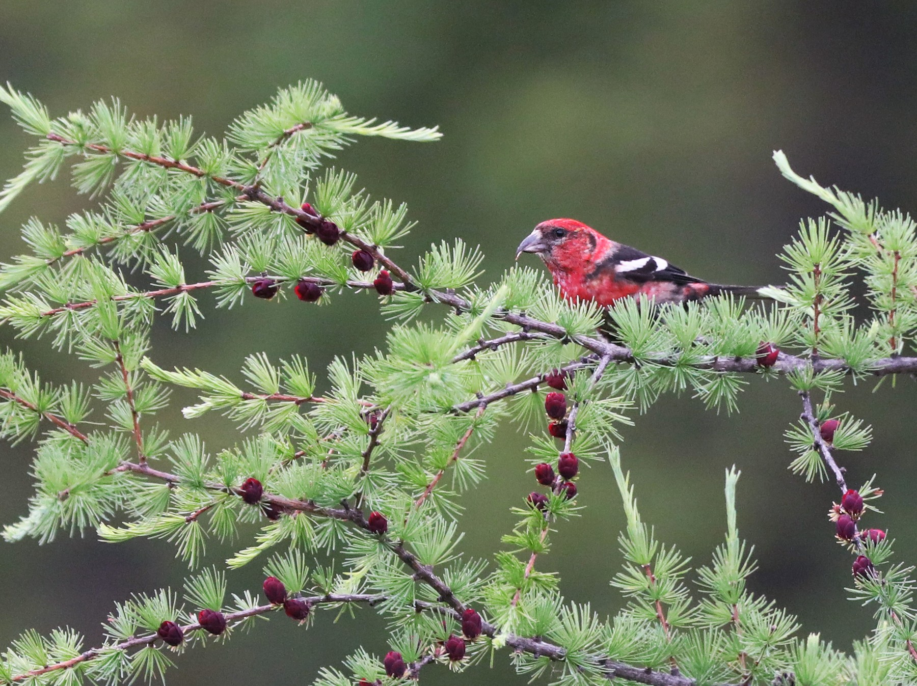 White-winged Crossbill - Daniel Jauvin