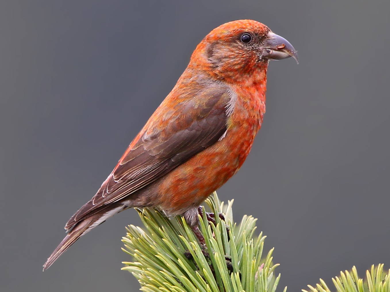 Red Crossbill - Christoph Moning
