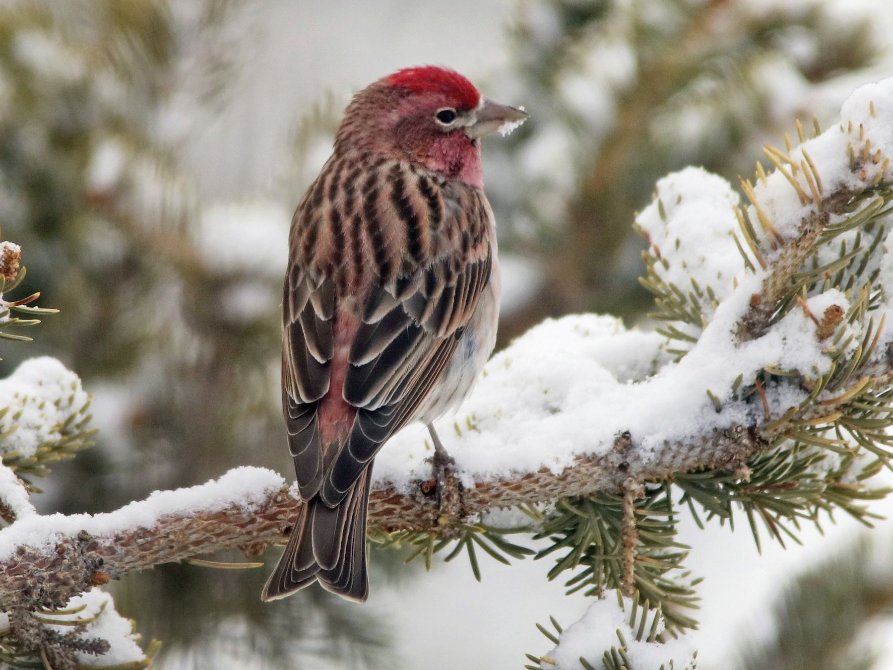 Cassin's Finch - David Marjamaa