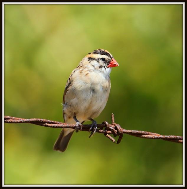 ©Albert Linkowski - Pin-tailed Whydah
