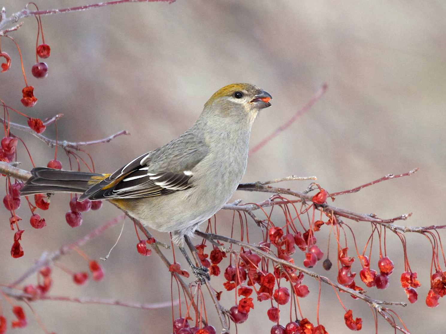 Pine Grosbeak - Doug Hitchcox