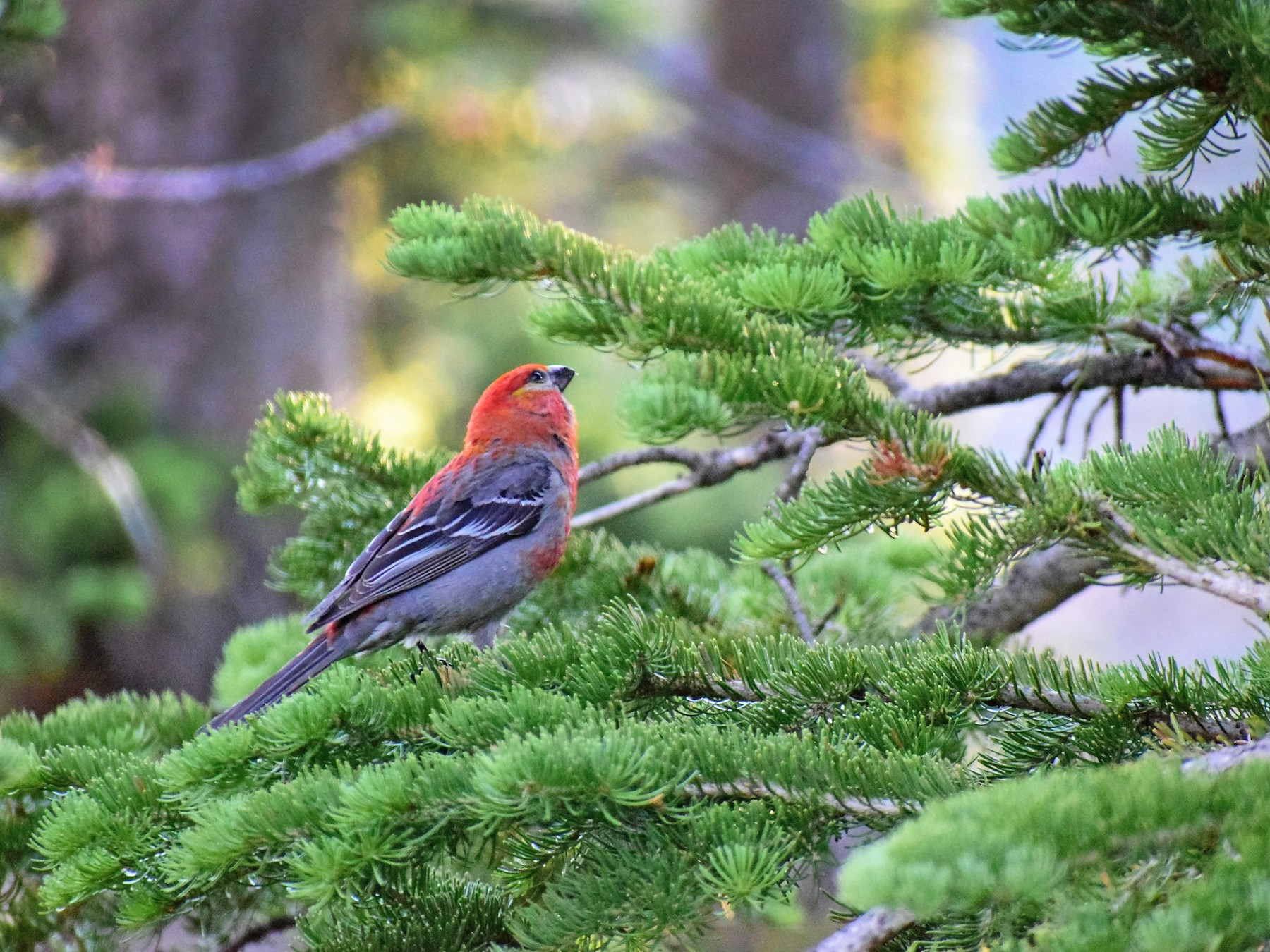 Pine Grosbeak - James McCall