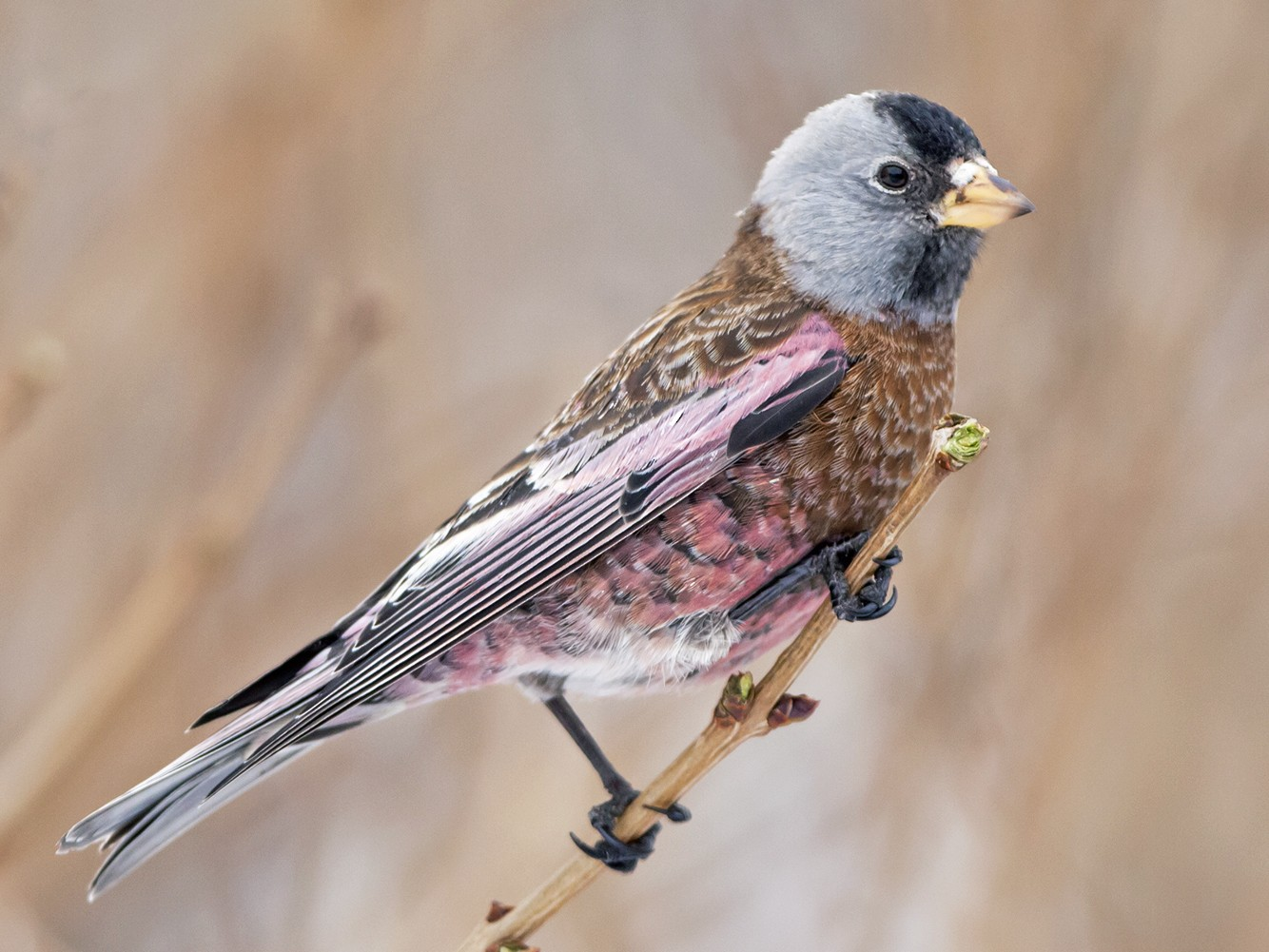 Gray-crowned Rosy-Finch - Joshua Covill