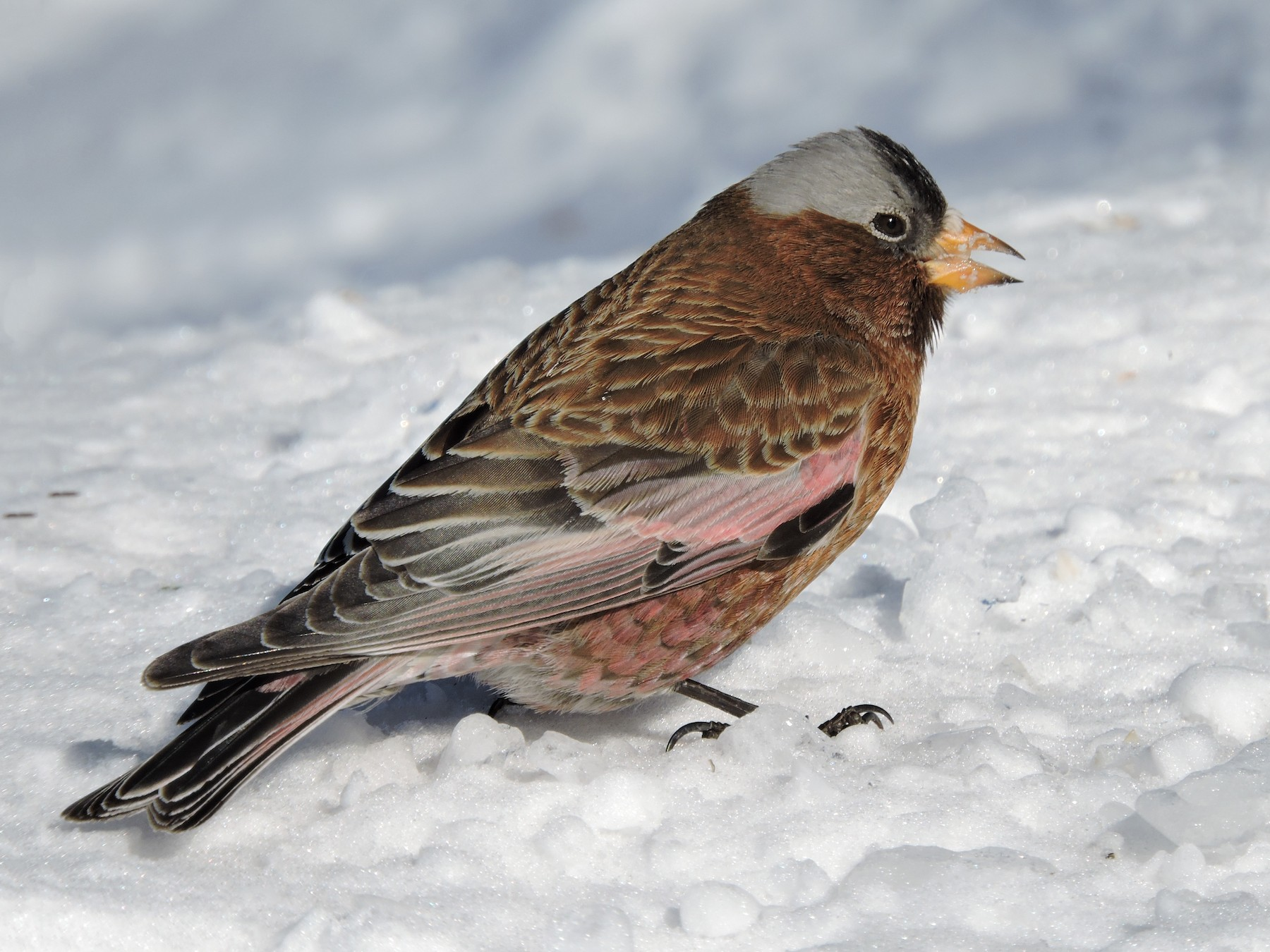 Gray-crowned Rosy-Finch - Taylor Abbott