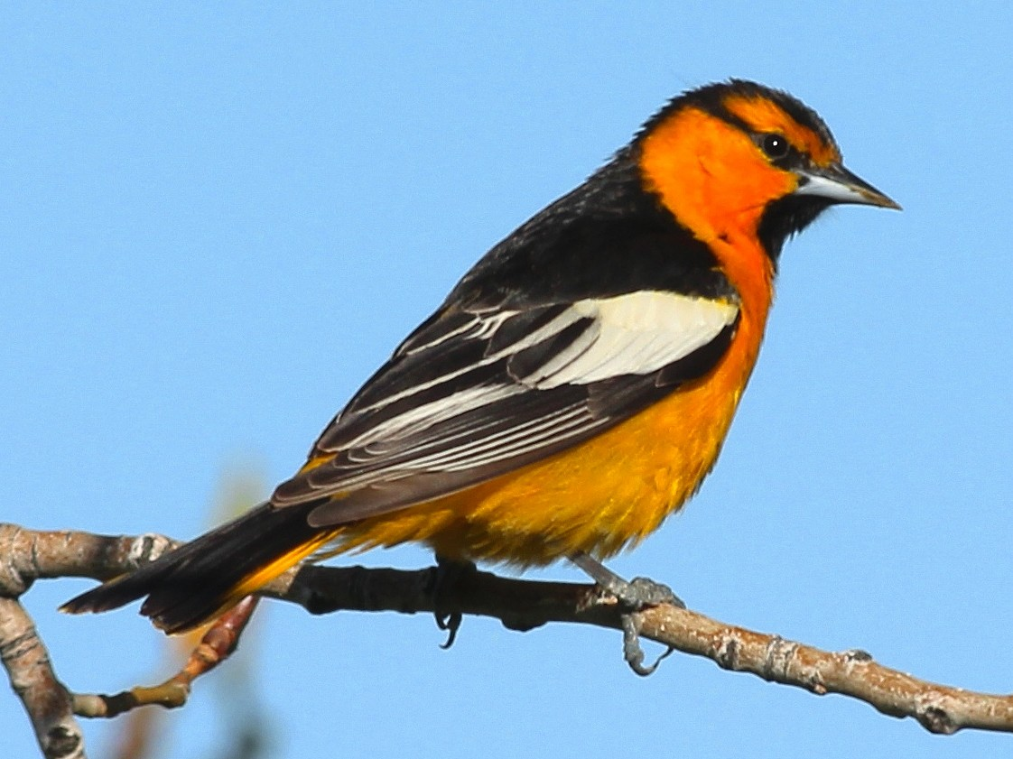 Bullock's Oriole - Shawn Billerman
