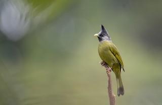 - Crested Finchbill