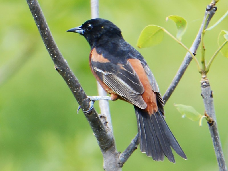 Orchard Oriole - Bird Nerd67