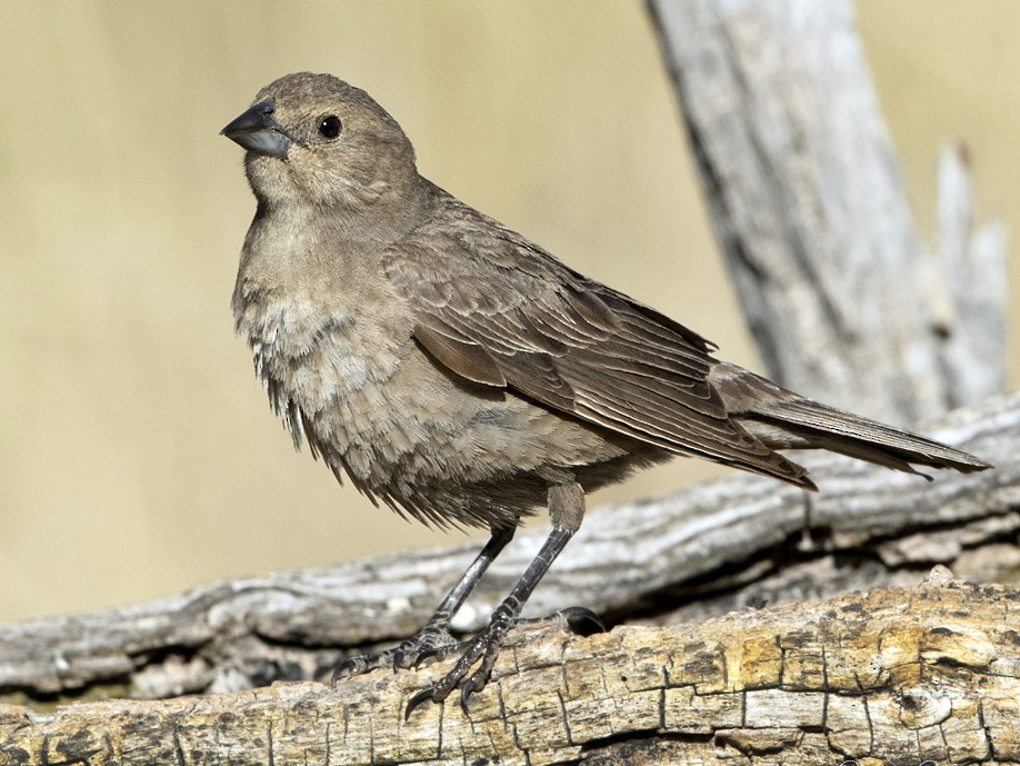 Brown-headed Cowbird - Arlene Ripley