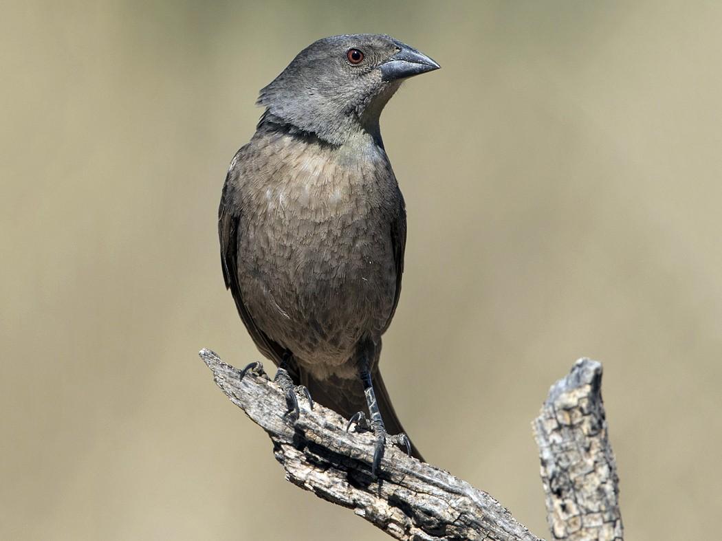 Bronzed Cowbird - Arlene Ripley