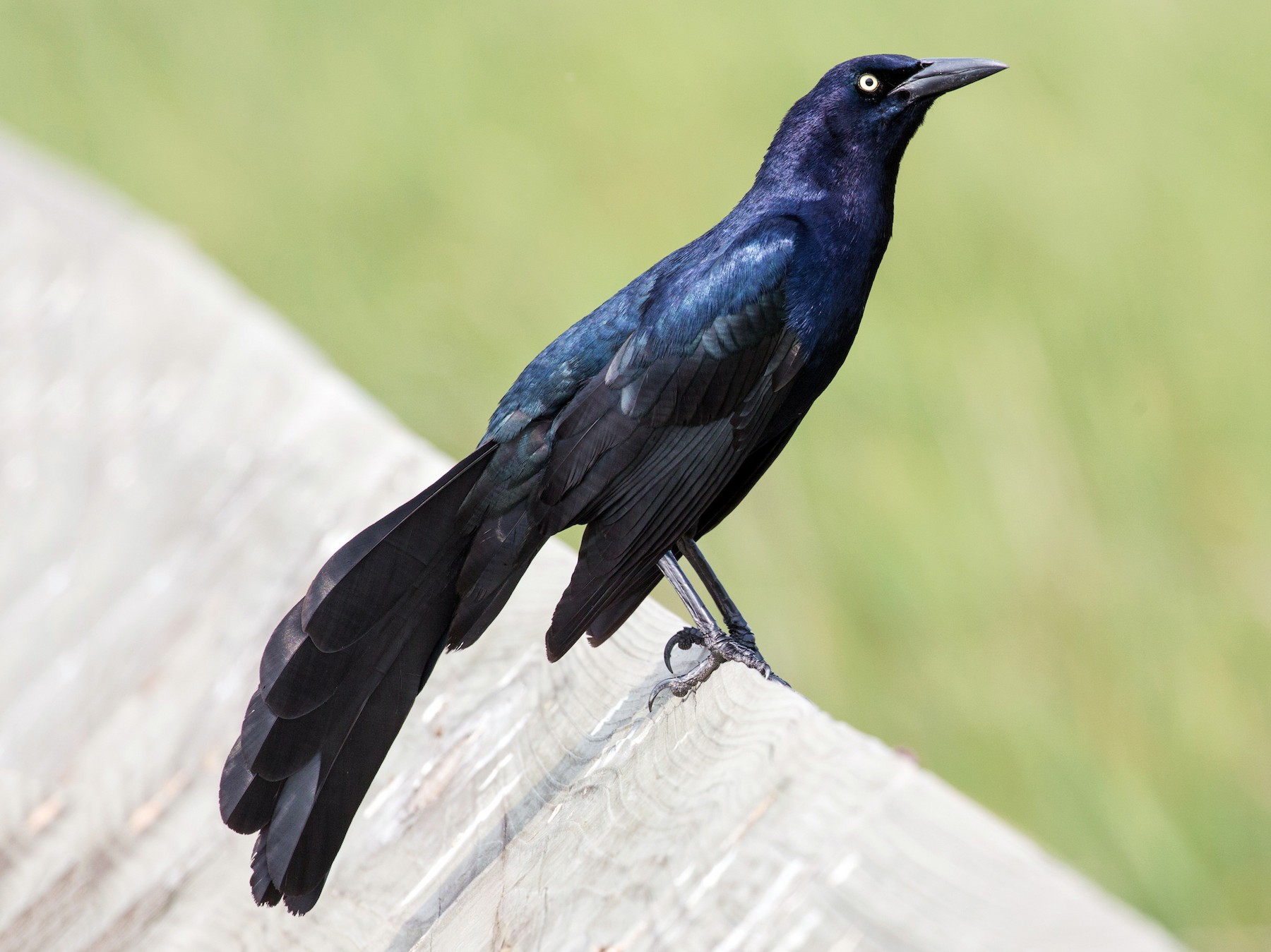 Great-tailed Grackle - Darren Clark