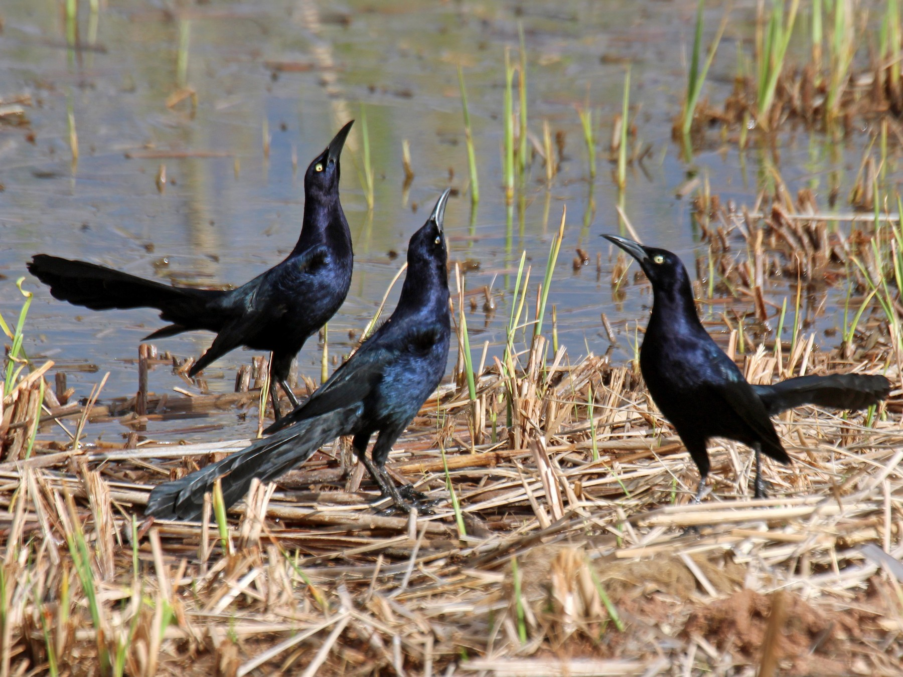 Great-tailed Grackle - sam hough