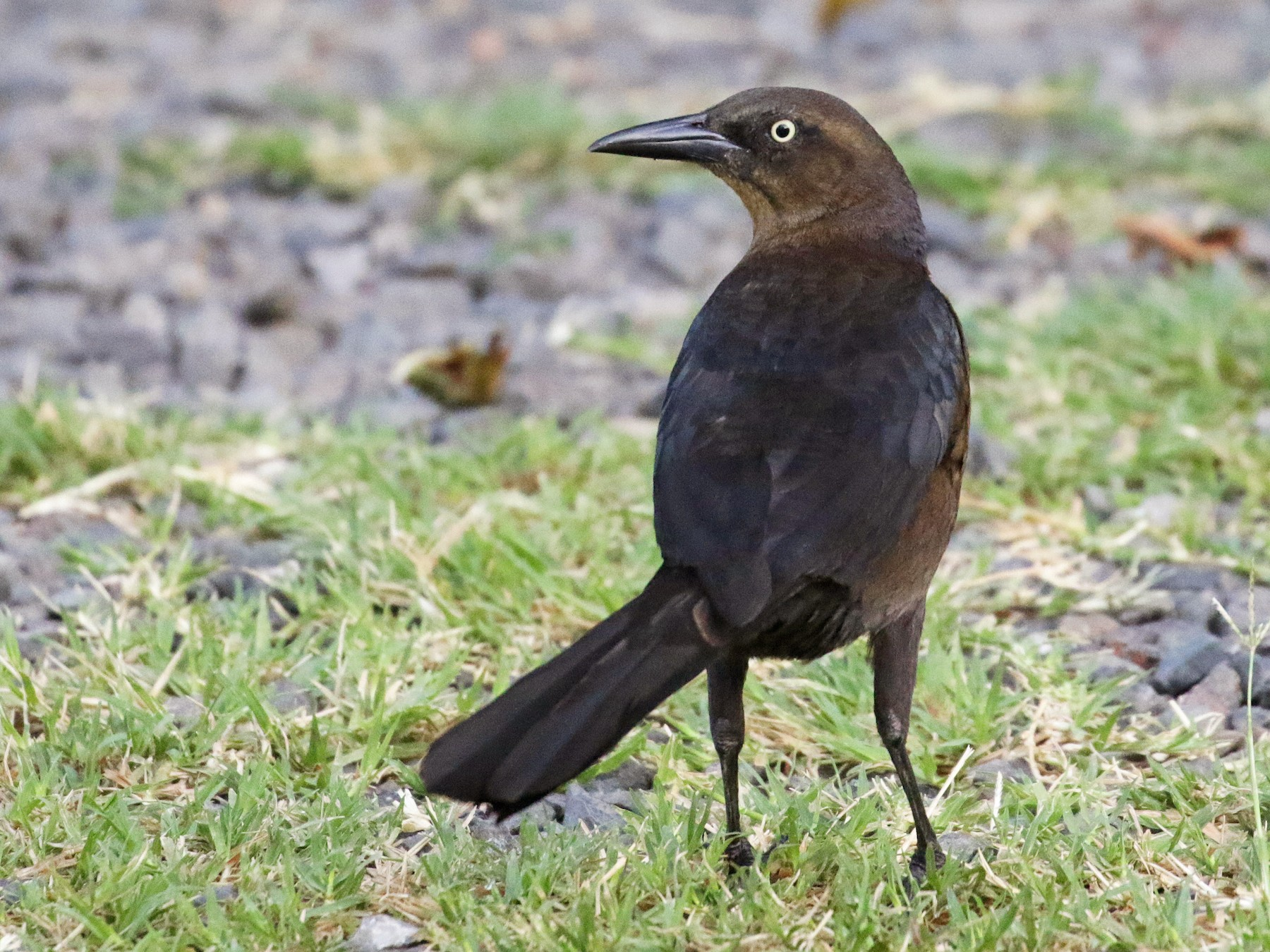 Great-tailed Grackle - Cameron Eckert